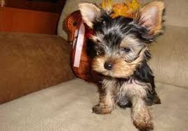 Gorgeous Yorkie Puppies Diminuto Venta